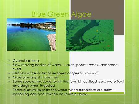 Blue Green Algae Cyanobacteria Slow moving bodies of water – Lakes, ponds, creeks and some rivers Discolours the water blue-green or greenish brown More.