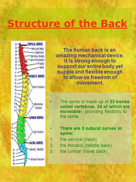 Structure of the Back The spine is made up of 33 bones called vertebrae, 24 of which are moveable - providing flexibility to the spine. There are 3 natural.