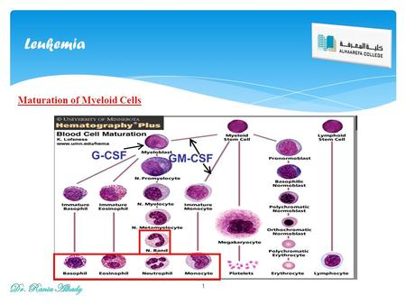 Leukemia 1 Maturation of Myeloid Cells. Definition: Leukemias are a group of disorders characterized by the accumulation of malignant white cells in the.