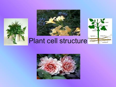 Plant cell structure. Plant cell organelles Cell Membrane Nucleus Cytoplasm Mitochondria Golgi Complex Ribosomes.