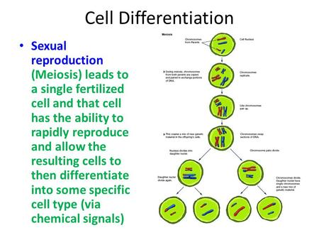Cell Differentiation Sexual reproduction (Meiosis) leads to a single fertilized cell and that cell has the ability to rapidly reproduce and allow the resulting.