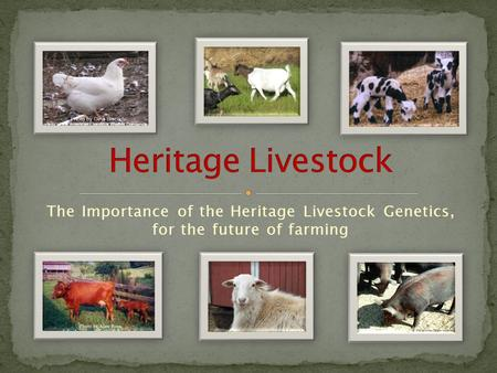 The Importance of the Heritage Livestock Genetics, for the future of farming.