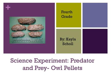 + Science Experiment: Predator and Prey- Owl Pellets By: Kayla Scholl Fourth Grade.