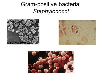 Gram-positive bacteria: Staphylococci. Staphylococcus aureus Staphylococcus aureus causes a variety of suppurative (pus-forming) infections and toxinoses.