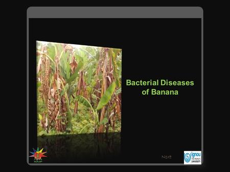 Bacterial Diseases of Banana Next. There are two bacterial diseases that affect banana. Pseudomonas wiltErwinia rot Click on the picture for information.
