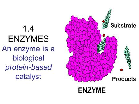 1.4 ENZYMES An enzyme is a biological protein-based catalyst