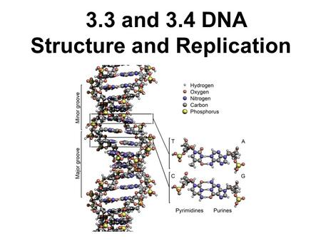 3.3 and 3.4 DNA Structure and Replication. 3.3 Assessment Statements 3.3.1 Outline DNA nucleotide structure 3.3.2 State the names of the 4 bases in DNA.
