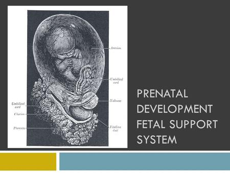 PRENATAL DEVELOPMENT FETAL SUPPORT SYSTEM. OBJECTIVES You will be able to:  Identify and describe the fetal support system  Analyze the interdependence.