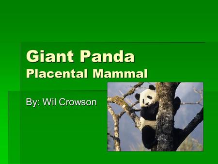 Giant Panda Placental Mammal By: Wil Crowson. Classification  Kingdom: Animalia  Phylum: Chordata  Class: Mammalia  Scientific Name: Ailuropoda melanoleuca.