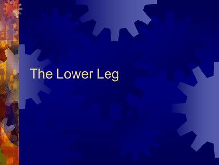 The Lower Leg. ANATOMY  Bones  Tibia  Fibula MUSCLES  The muscles are in four compartments with 2-4 muscles in each compartment  Compartments are.