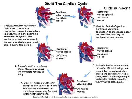20.18 The Cardiac Cycle Slide number 1 Copyright © The McGraw-Hill Companies, Inc. Permission required for reproduction or display. AV valves opened Semilunar.