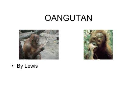 OANGUTAN By Lewis. FACTS OF AN ORANG UTAN There are two types of orangutan Borneo and Sumatra.