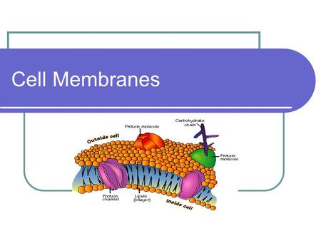 Cell Membranes. Cell membrane Also known as the PLASMA MEMBRANE.