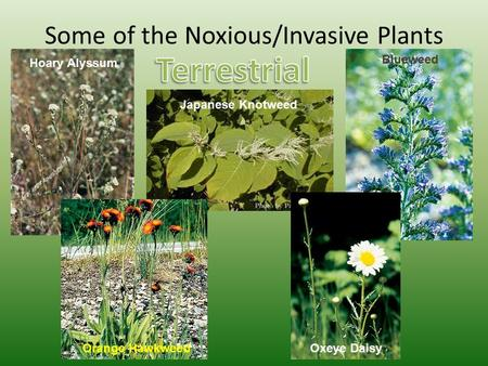 Some of the Noxious/Invasive Plants Hoary Alyssum Japanese Knotweed Orange Hawkweed Blueweed Oxeye Daisy.