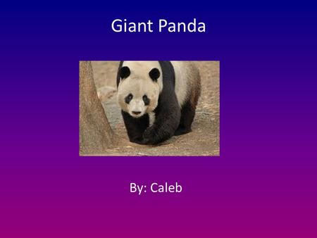 Giant Panda By: Caleb. General Information The Giant Panda is a mammal. My animals scientific name is Ailuropoda melanoleuca. A Giant Panda's lifespan.