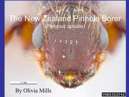 The New Zealand Pinhole Borer (Platypus apicalis) 4 3 5 2 1 By Olivia Mills.