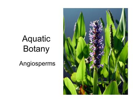 Aquatic Botany Angiosperms. Hydrophytes Plants growing in water or on a substrate that is at least periodically deficient in oxygen as a result of excessive.