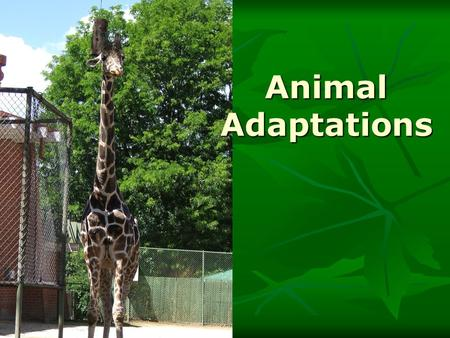 Animal Adaptations. Types of Adaptation Anything that helps an organism survive in its environment is an adaptation. Anything that helps an organism survive.