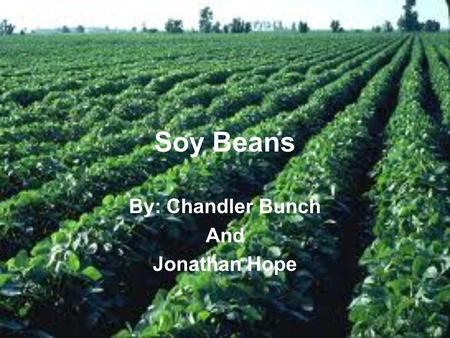 Soy Beans By: Chandler Bunch And Jonathan Hope. How is the crop planted Seed are be planted in cultivated or tilled land by a tractor and a planter which.