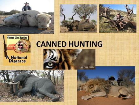 CANNED HUNTING. THE HORROR 'like shooting fish in a barrel' In a canned hunt there is no patience, no chance and no skill. The animals in a canned hunt.
