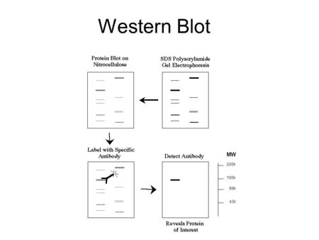 Western Blot 200k 68k 100k 43k MW. Lysis Buffer Lysis Lyse tissue. This requires a lysis buffer: 50mM Tris-HCL (ph7.4), 150mM NaCL, 1% Triton x100 and.