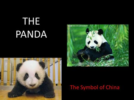 THE PANDA The Symbol of China. The Giant Panda (Ailuropoda melanoleuca) Kingdom – ANIMALIA Phylum – CHORDATA Class – MAMMALIA Order – CARNIVORA Family.