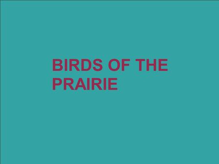 BIRDS OF THE PRAIRIE. Wilson's phalarope Small- about 7.5 inches tall Usually found swimming Long Pointed Beak Colors- Grey wings - White underbelly -
