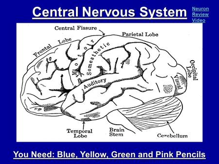 Central Nervous System You Need: Blue, Yellow, Green and Pink Pencils Neuron Review Video Neuron Review Video.