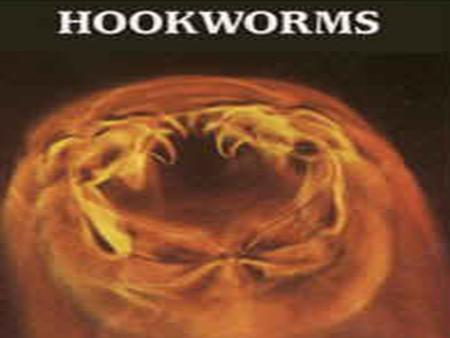 Causal Agent: The human hookworms include the nematode species, 1.Ancylostoma duodenale and 2.Necator americanus.