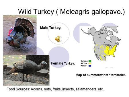 Wild Turkey ( Meleagris gallopavo.) Male Turkey. Female Turkey. Map of summer/winter territories. Food Sources: Acorns, nuts, fruits, insects, salamanders,