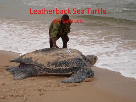 Leatherback Sea Turtle By: Sam Lee Body Description Largest of all living sea turtles. Can reach up to 6 feet. Can weigh up close to a ton (largest ever.