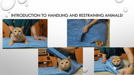 INTRODUCTION TO HANDLING AND RESTRAINING ANIMALS!.