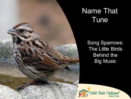 Name That Tune Song Sparrows: The Little Birds Behind the Big Music.