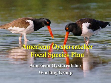 American Oystercatcher Focal Species Plan American Oystercatcher Working Group.