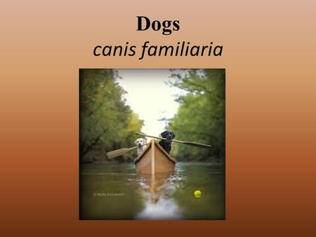 Dogs canis familiaria. History Ancestor to entire dog family- Miacis Lived 40-50 million years ago Father of modern dogs- Tomarctus From the Tomarctus,