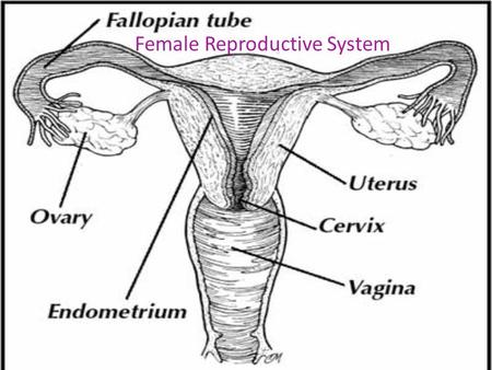 Female Reproductive System. Today you'll learn about the organs that make up the female reproductive system and how they function. During puberty, females.