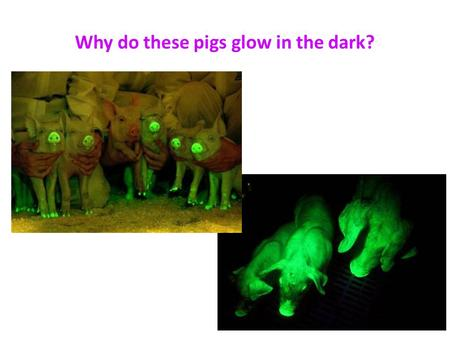 Why do these pigs glow in the dark?. Normal Pig Genes + GFP Jelly Fish Gene GFP – Green Fluorescent Pigment.
