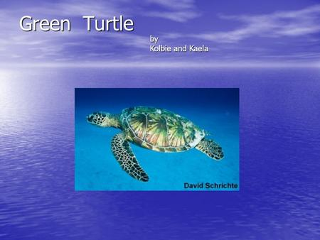 Green Turtle by Kolbie and Kaela. Habitat They live near coastlines and around islands and in bays. They especially are found in areas with sea grass.