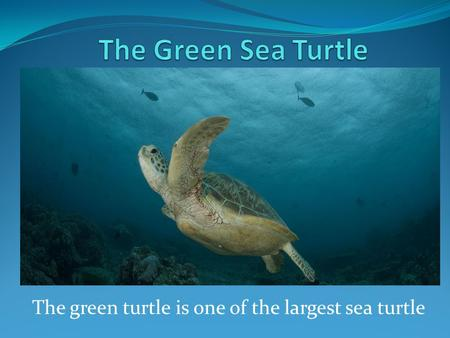 The green turtle is one of the largest sea turtle.