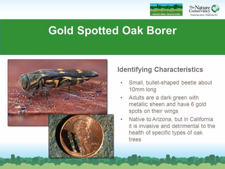 Gold Spotted Oak Borer Small, bullet-shaped beetle about 10mm long Adults are a dark green with metallic sheen and have 6 gold spots on their wings Native.