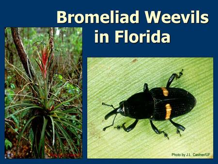 Bromeliad Weevils in Florida. Bromeliad Weevils In the Neotropics, bromeliads are known host plants for at least 25 species of weevils in 4 genera: 