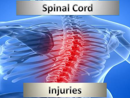 What is the spinal cord? The spinal cord is a bundle of nerve fibers and associated tissue that is enclosed in the spine. These fibers connect nearly.
