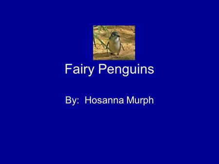 Fairy Penguins By: Hosanna Murph. I am going to tell you about the Fairy Penguin. I will tell you where it lives, what it looks like and some interesting.