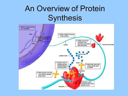 An Overview of Protein Synthesis. Genes A sequence of nucleotides in DNA that performs a specific function such as coding for a particular protein.