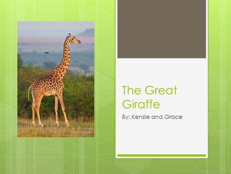 The Great Giraffe By: Kenzie and Grace Giraffes What type of animal are they?  They are mammals Species: Giraffa What do they eat?  They eat fruit,