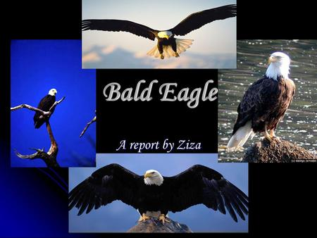 Bald Eagle A report by Ziza. What do Bald Eagles eat? Bald Eagles mostly eat fish. They are opportunistic feeders. They usually eat ducks, rabbits and.