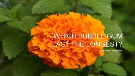 WHICH BUBBLE GUM LAST THE LONGEST? BY: HALEY JOHNSON.
