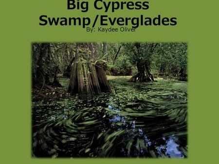 Big Cypress Swamp/Everglades By: Kaydee Oliver. Location Big Cypress Swamp National Preserve 1923 -729,000 acres - 1/3 of Big Cypress Swamp is Preserved.