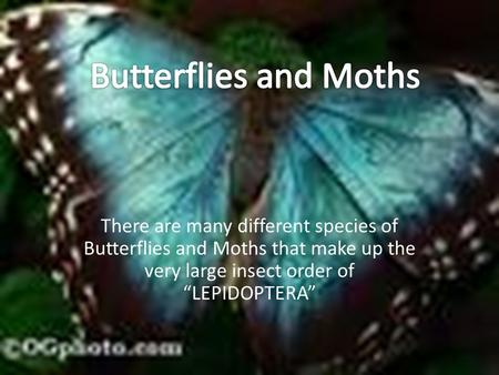"There are many different species of Butterflies and Moths that make up the very large insect order of ""LEPIDOPTERA"""