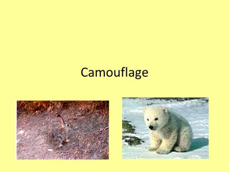 Camouflage. Camouflage is coloring, shape, or size that helps an animal blend in with the place it lives. It also helps protect them from their enemies.